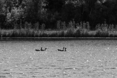 Canadian Geese in Busse Woods VI