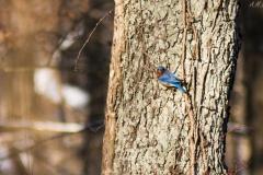Eastern Bluebird III