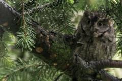 Eastern Screech Owl II