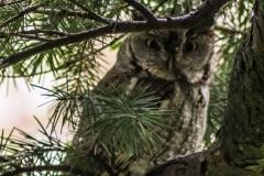 Eastern Screech Owl IX