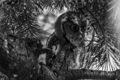 Eastern Screech Owl VI