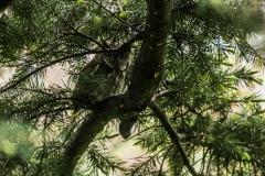 Eastern Screech Owl VII