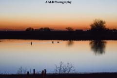Evening Geese III