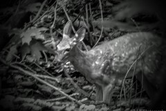 Fawn - In black and white, this fawn was just adorable. I am grateful that it let me capture this image. Seen on a hike at the Forest Park Nature Center in Peoria, Illinois