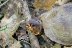 Friend - A close-up of a three-toed box turtle found on a hike in Missouri.