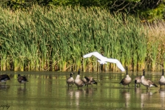Great White Heron and Canadian Geese in Busse Woods