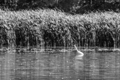 Great White Heron in Busse Woods
