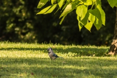 Northern Blue Jay in Busse Woods