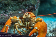 Orange American Lobster