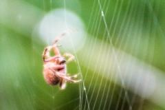 Orb-Weaver Spider V