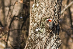 Red-Bellied Woodpecker II