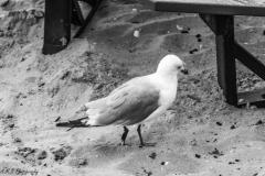 Seagulls in Mackinac City, Michigan III