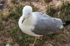 Seagulls in Mackinac City, Michigan IV
