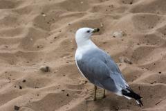Seagulls in Mackinac City, Michigan