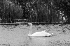 Swan In Black and White