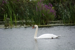 Swan Near Muskegon River