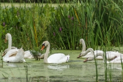 Swans Eating in Flood Waters