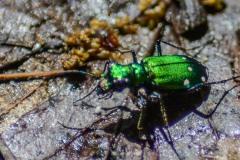 Tiger Beetle IV