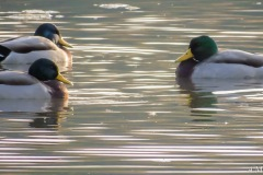 Unlimited 3 - While on a morning cruise in the Fall of '16, I captured this along the roadside. A few of the mallard ducks were peacefully relaxing in a nearby pond.