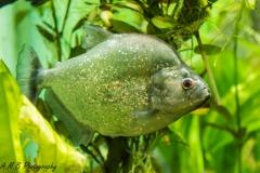 Violet-Line Piranha