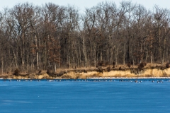 Waterfowl on Icy Evergreen Lake