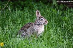 Wild Rabbit II