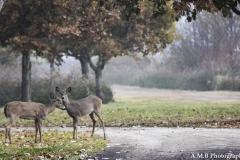 Young Deer III